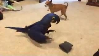 Tiny dog and giant parrot share similar interest - Video