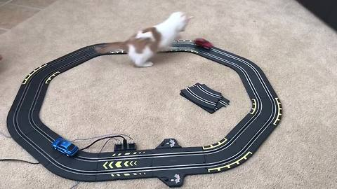 Fast & the Furry-ious! Playful Cat Enjoys Toy Race Track