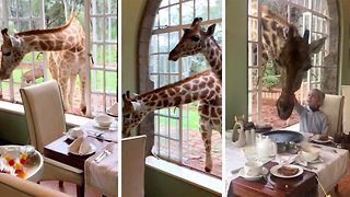 Giraffes show brass neck stealing breakfast from inside hotel - Video