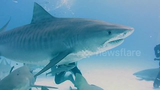 Man Feeds Massive Pregnant Tiger Shark By Hand - Video