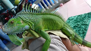 The Most Beautiful Iguana in the World!