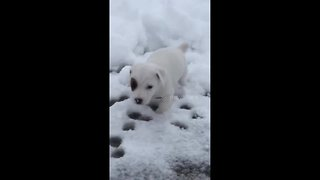 Jack Russell Terrier puppy experiences his first snow - Video