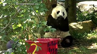 Panda birthdays in Washington - Video