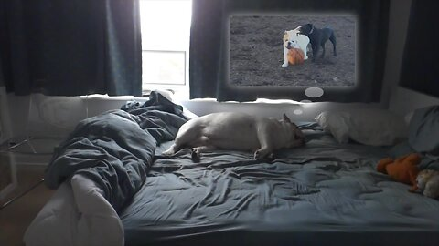 Bulldog not allowed on bed, decides to sleep there anyway