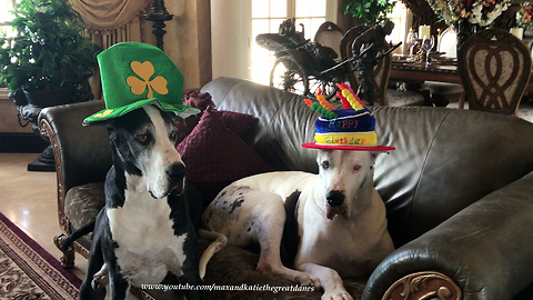 Happy Hat Wearing Great Danes Get Ready for St Patrick's Day