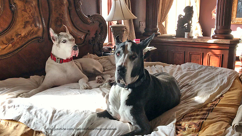 Funny Lazy Great Danes Take Over King Size Bed