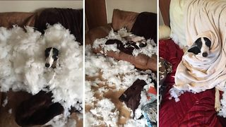 Shame-faced lurcher mauls third sofa in two-year chewing campaign – costing owner thousands - Video