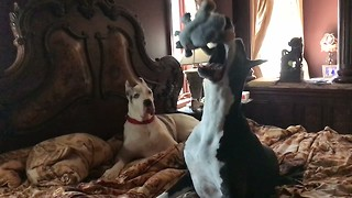 Funny Great Dane Catches Squirrel Toy in Slow Motion with Audience  - Video