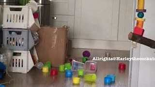 Harley the Cockatoo Makes a Mess While Cleaning Out Her Toy Box - Video