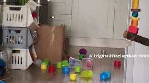 Harley the Cockatoo Makes a Mess While Cleaning Out Her Toy Box