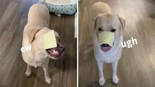 Say Cheese! Surprised Labrador Takes Part In Cheese Challenge – But Fails Both Times