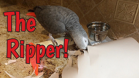 Industrious parrot loves to shred paper