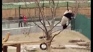 Cute panda Pu Pu falls out of tree - Video