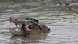 Saltwater Crocodiles Feast on a Cow in the Mary River in Northern Australia - Video