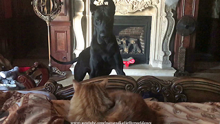 Frustrated Great Dane protests cat sleeping in her spot
