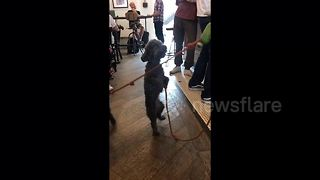 Dancing poodle can't wait for his morning shot of coffee - Video