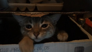 Cat plays high energy game of peekaboo - Video