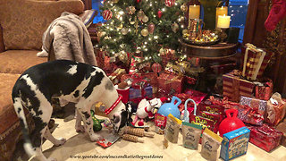 Puppy can't decide which Christmas gift to play with