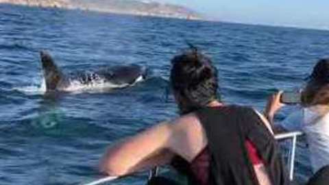 Killer Whales Make a Rare Appearance in San Diego