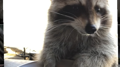 Raccoon chows down on his favorite breakfast