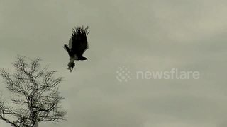 Watch Africa's largest eagle take flight with a monitor lizard in its talons - Video