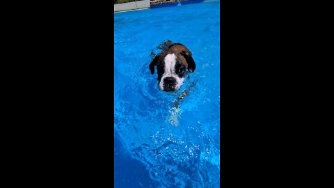 Boxer puppy learning to swim