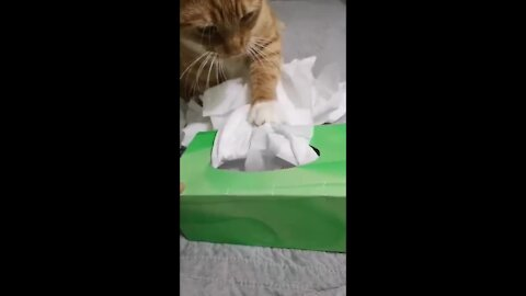 Funny kitten wastes an entire box of tissues