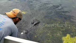 Daredevil swamp tour guide kisses alligator - Video