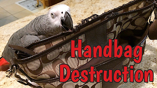 Naughty parrot destroys expensive designer handbag - Video