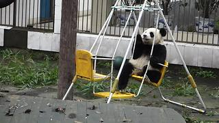 Zheng Zheng the panda chills out on swing set - Video