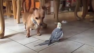 Cheerful Cockatiel Annoys Family Dog With Its Singing
