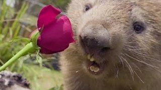 Symbio Zoo Animals Celebrate Valentine's Day - Video