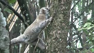 Eight endangered slow lorises released into the wild in Indonesia - Video