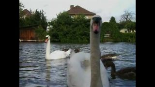 Swans adopt baby geese - Video