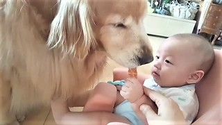 Baby Hand-Feeds Snack To Gentle Golden Retriever