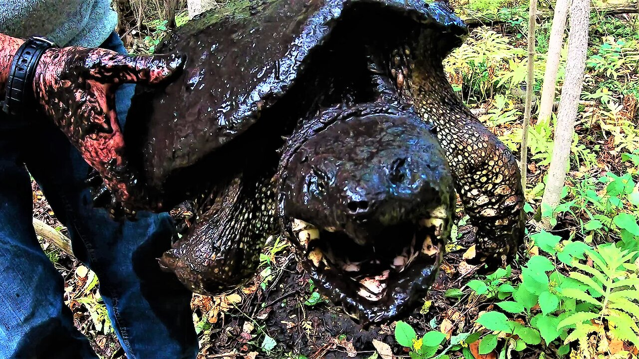 Gigantic snapping turtles found in mud hole in the woods