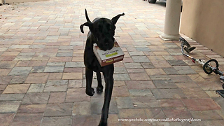 Great Dane puppy learns how to deliver groceries - Video
