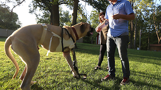 Dog prosthetic leg: English mastiff names Moose gets new leg -- and new leg on life - Video