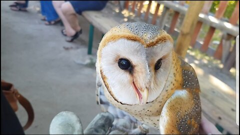 Crowd get to hand feed a barn owl