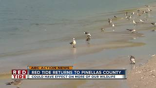 Red Tide returns to Pinellas County
