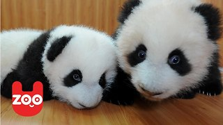 Incredibly Cute Baby Panda Twins Playing - Video
