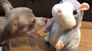 Tiny dog has hilarious first encounter with the talking hamster toy  - Video