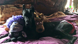 Sleepy Great Dane Falls Asleep with her Stuffie Toys in Bed