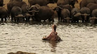 Dominant bull hippo shows teeth to herd of buffalo - Video