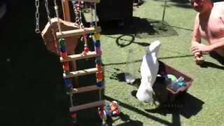 Cockatoo Won't Let Owner Clean Her Toys Up - Video