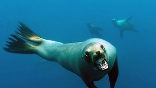 Caught On Camera: Curious Sea Lion Rushes Diver's Camera - Video