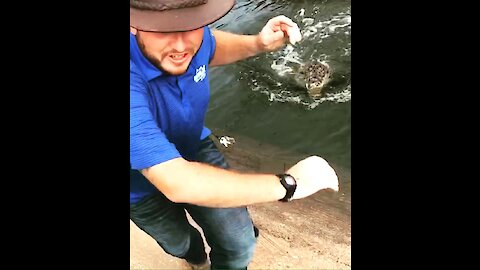 Nile Crocodile totally surprises gator caretaker