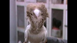 Weird and Expensive Pigeons - Video