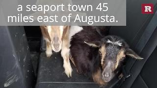 Police Officers Saved These Goats | Rare Animals - Video