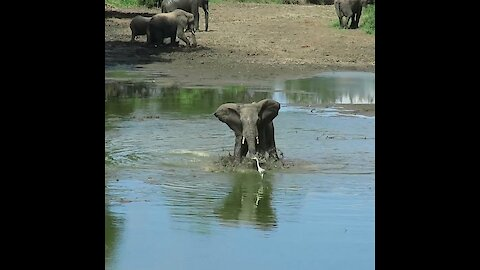 Male elephant splashes bird with water to show off his dominance